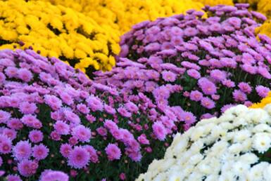 yellow, purple, white mums